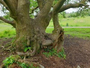 an old oak tree in penllergare woods